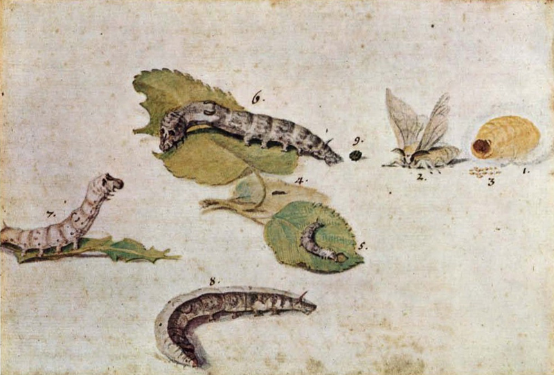 La breve vita del baco: dal gelso al bozzolo alla farfalla